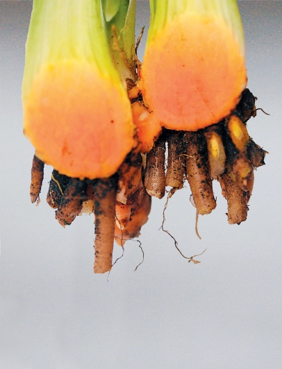 Bright-colored tumeric is used extensively in Southeast Asian and Middle Eastern cuisines